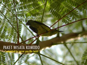 Burung-Kecial-Komodo
