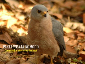 Burung-Komodo