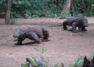 Satwa liar Komodo